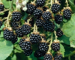 Сполучливи билкови рецепти с листа на къпина