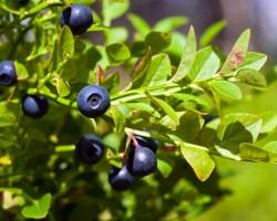 Чай от черна боровинка при диария и диабет