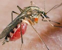 Червен кантарион и седефче при треска и малария